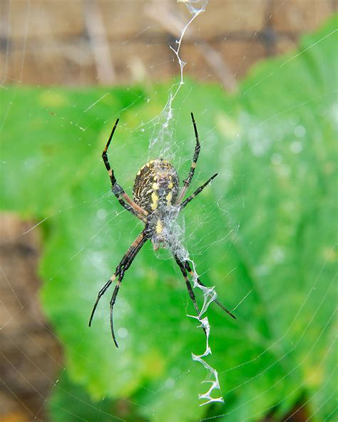 spiders with zig zag pattern on back the writing spider argiope aurantia curbstone valley