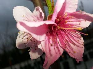 significato fiori di pesco il significato dei fiori di pesco lazioproduce srl