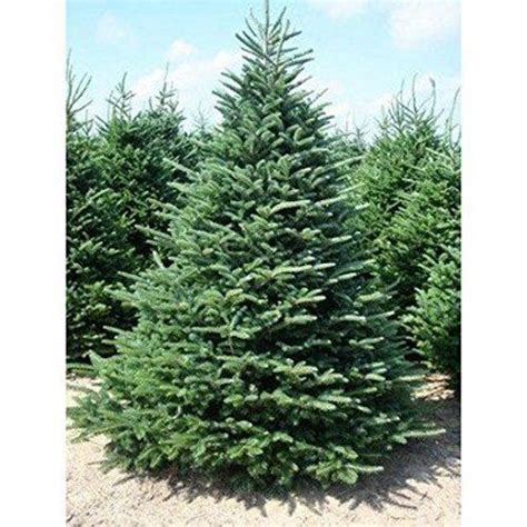 100 balsam fir tree seeds christmas tree evergreen
