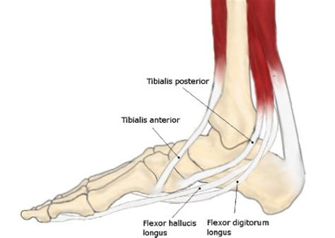 Weak Ankles and Flat Feet Foot Arch Muscles