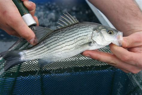 Striper White what is a hybrid striper bob lusk outdoors