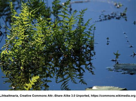 bäumchen im topf sumpf lappenfarn thelypteris palustris im 9x9 cm topf