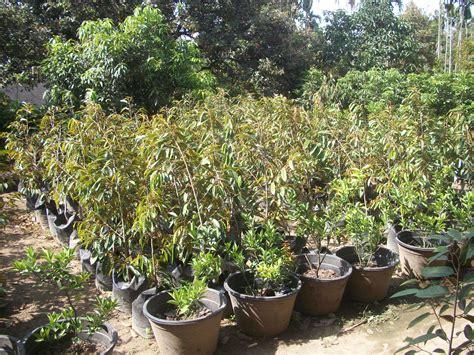 Bibit Tanaman Hias Bambu Micro harga jual daftar harga bibit bambu jual bibit pisang