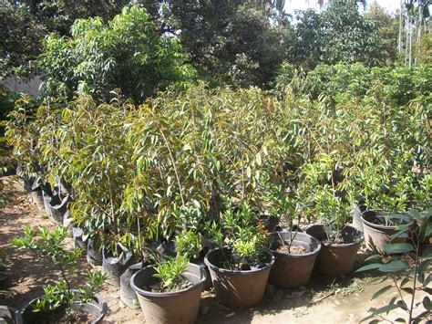 Harga Bibit Blueberry jual bibit durian musangking harga murah pematang siantar