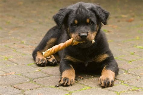 how much does a rottweiler puppy cost rottweiler puppy chewing on its treat jpg 1 comment hi res 720p hd