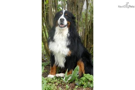 bernese mountain puppies for adoption bernese mountain puppy for sale near binghamton new york 3e6efea2 00d1