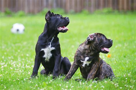 black corso puppies the corso coat modern molosser