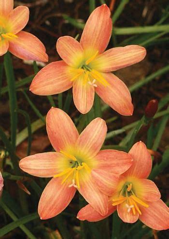 Bonita Pink Batik 28 best images about riparium plants on ophiopogon japonicus ea and