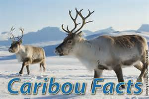 caribou facts with pictures video amp information