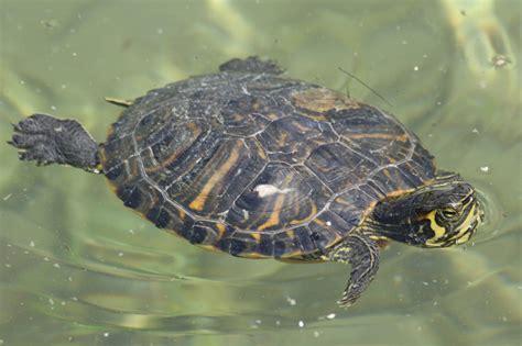 tartarughe marine alimentazione tartaruga de orelha amarela a nadar fotos e imagens