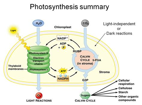 photosynthesis diagrams photosynthesis process diagram photosynthesis get free
