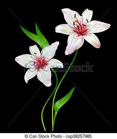 fiore giglio bianco giglio fiore bianco sfondo nero fiore fondo nero