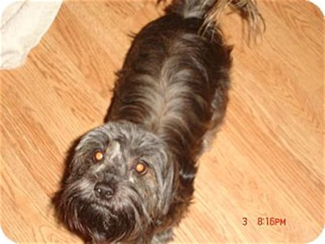shih tzu denver princess adopted puppy denver co shih tzu yorkie terrier mix