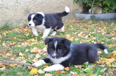 alimentazione border collie border collie galaxy centro cinofilo forli
