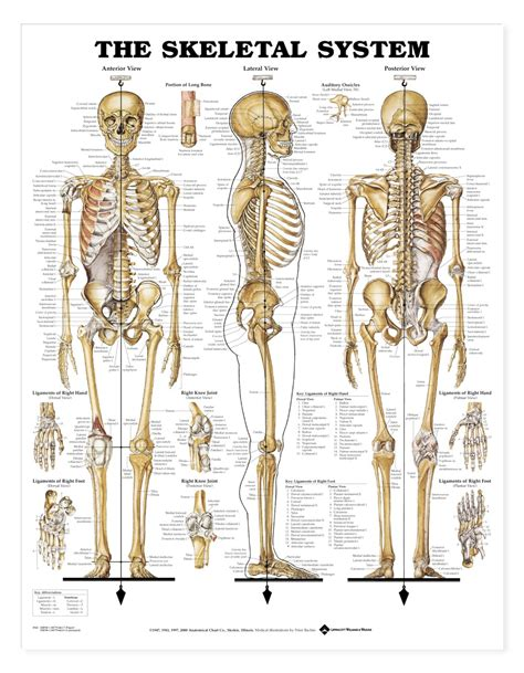 skeleton anatomy the skeletal system anatomical chart anatomy models and anatomical charts