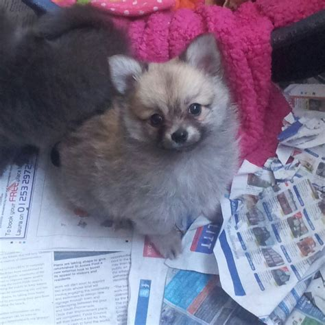 pomchi puppies for sale adorable pomchi puppies for sale blackpool lancashire pets4homes