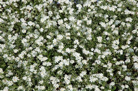 cespugli fiori bianchi giardini