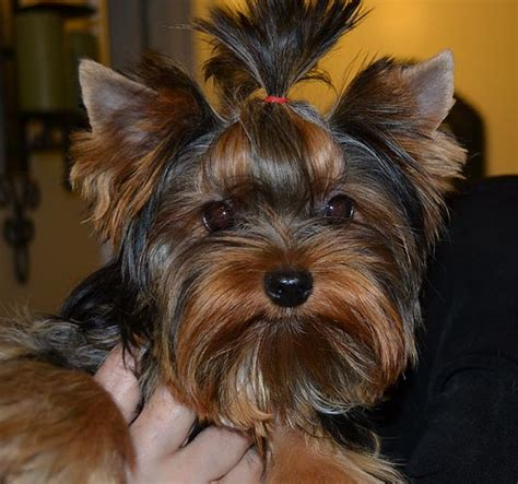 yorkie breeders in tn 25 best ideas about parti yorkies for sale on yorkie dogs for sale