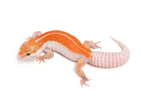 Leopard Gecko 2 46 best leopard geckos images on leopard
