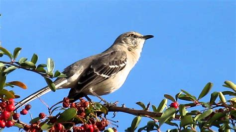mockingbird singing youtube