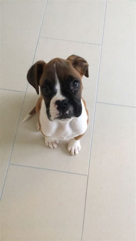 pedigree for puppies pedigree puppy for sale newmarket suffolk pets4homes