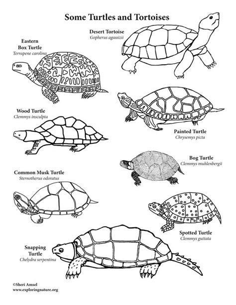 desert turtle coloring page turtes and tortoises coloring page desert tortoise