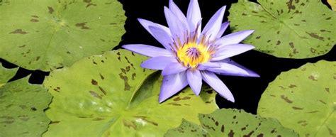 fior di loto cocktail loto impieghi e ricette agrodolce