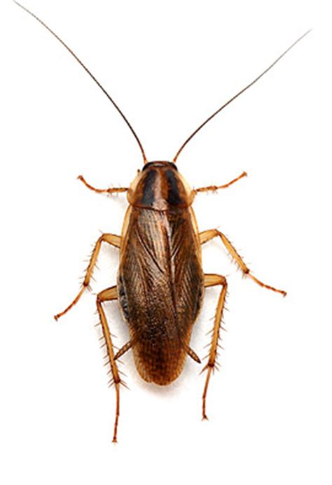 Common House Bugs by Common Household Bugs Related Keywords Common Household