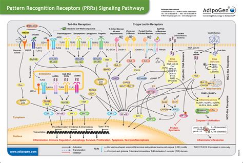 pattern recognition receptors in antimicrobial immunity signaling wallcharts