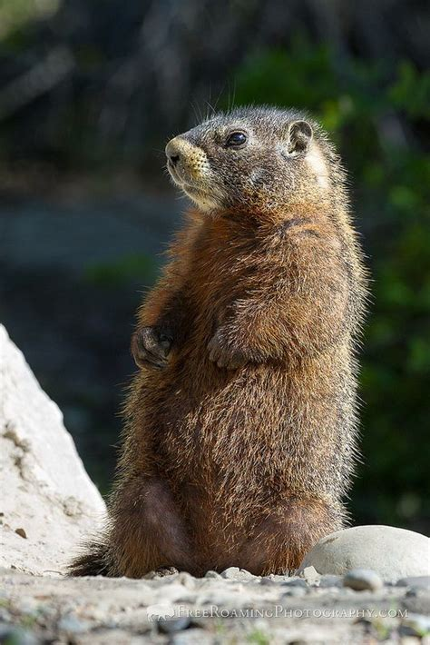 groundhog day travolta 17 best images about marmottes on groundhog