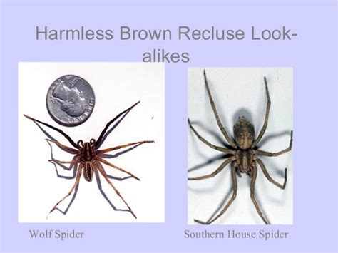 southern house spider vs brown recluse common house spider vs brown recluse pictures to pin on pinterest pinsdaddy
