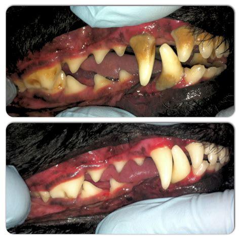 cleaning dogs teeth k9 gentle dental teeth cleaning alberta