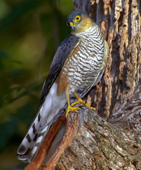 sharp shinned hawk sharp shinned hawk wikipedia