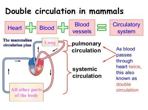 Essay On Pulmonary Circulation by Circulatory System Essay Not Found