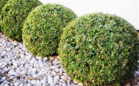 pitosforo in vaso pitosforo o pittosporo pianta da siepe idee green