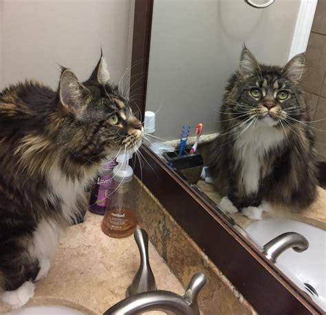 Cat Mirror cat in mirror cats