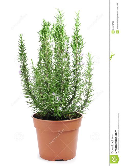 images of plants rosemary plant royalty free stock images image 34624799