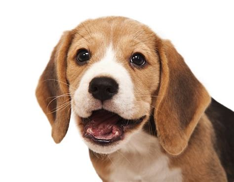 how to a beagle how to brush a beagle s teeth grooming tutorial