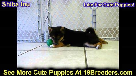 shiba inu puppies for sale in va shiba inu puppies dogs for sale in norfolk county virginia va 19breeders