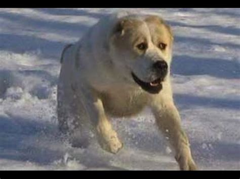 top 10 strongest dogs top 10 strongest dogs in the world 2016 funnydog tv