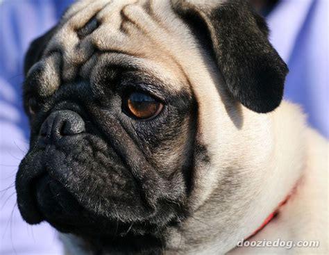 pug breed dogs pug 39 jpg