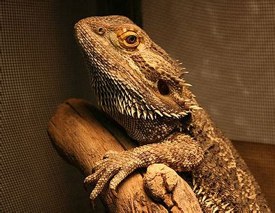bearded dragon  pet wiki