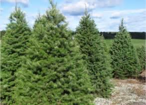 Douglas fir wholesale christmas trees