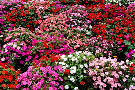 Home Decor Names by Impatiens Flowers Growing Tips Best Types To Plant