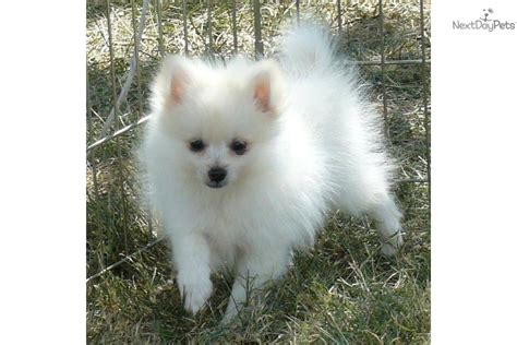 teacup pomeranian for sale in minnesota teacup pomeranian free parti pomeranian puppies breeds picture
