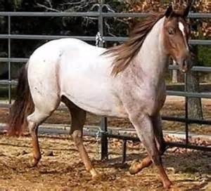 roan color what color would you call this arabian caf 233