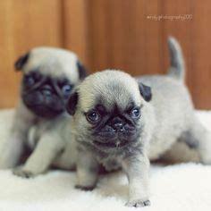 newborn baby pugs ooak reborn baby pug puppy newborn best baby pugs pug puppies and reborn