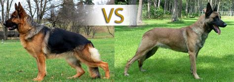 belgian malinois vs german shepherd does your family need a k 9 protector german shepherd vs belgian malinois