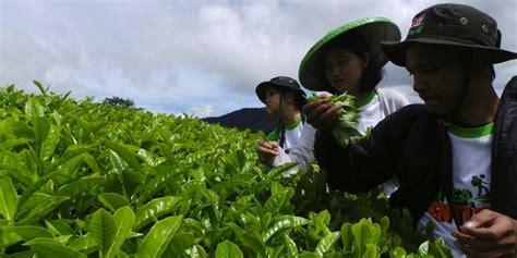 Teh Pucuk Dari Pabrik teh hijau dan pabrik belanda petualangan seru kompas