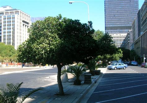 city tree file milkwood trees in cape town city centre